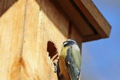 Blaumeisen auf der Wohnungssuche, Autor: Charlotte Moser